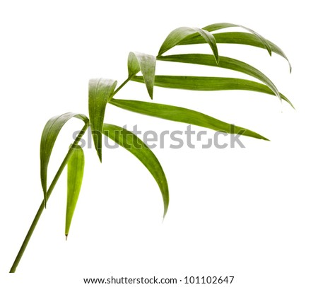 Green Leaf  Palm Tree (Howea ) isolated on white background. - stock photo