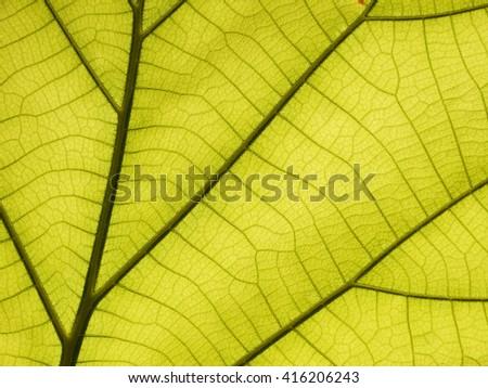 green leaf texture ( teak leaf ) - stock photo