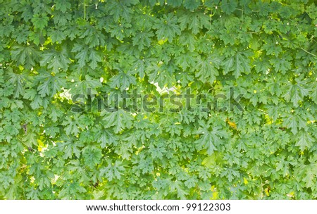 Green leaf wall - stock photo