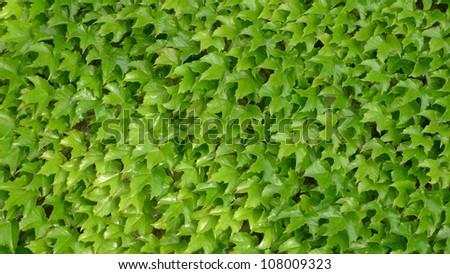 Green Leaf wall, in the vine yard - stock photo