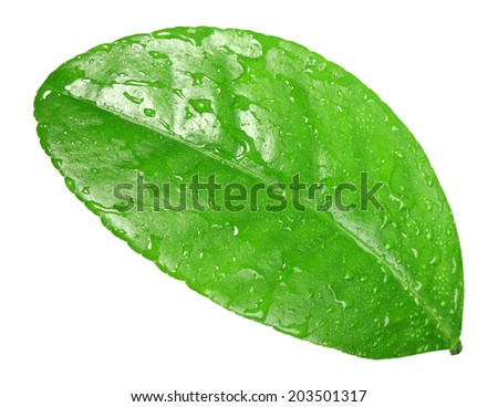 Green leaf with dew-drops of citrus-tree isolated on white background - stock photo