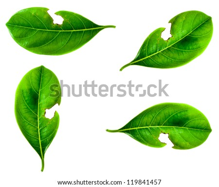 Green Leaf with holes, eaten by pests , on white background. - stock photo