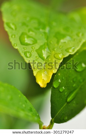 Green leaf with raindrops close-up. For background use. Selective focus. Macro - stock photo