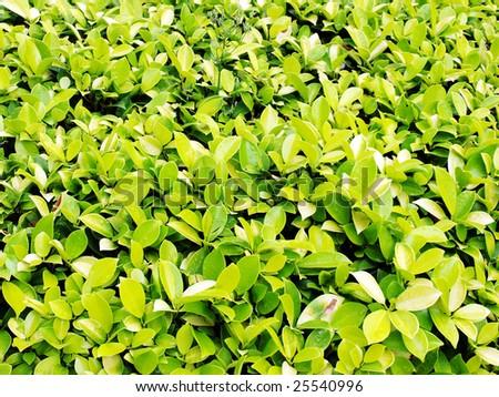 Green leafage. - stock photo