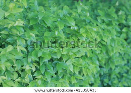 Green leafs wall for background - stock photo
