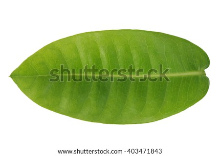 Green leave isolated on white background. This has clipping path. - stock photo