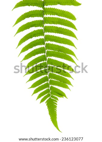 green leave of fern isolated on white background - stock photo