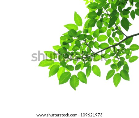 Green leave on white background - stock photo