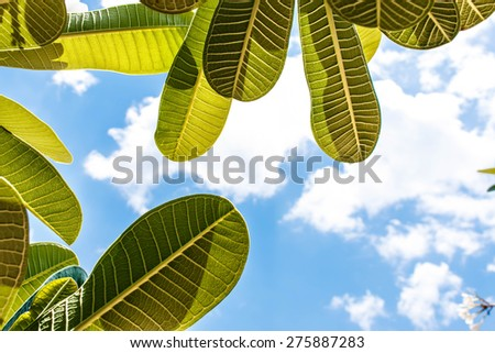 Green leaves against clouds and blue sky - stock photo