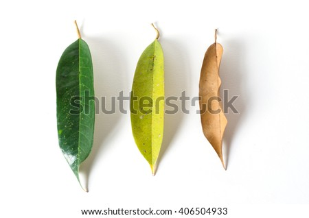 green leaves and dry leaves on white background, durian leaves - stock photo