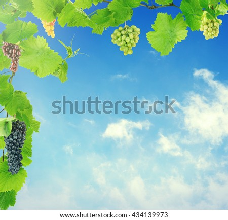 Green leaves and grape with blue sky. Summer or spring background - stock photo