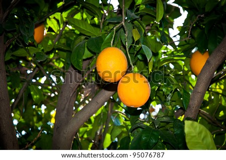 Green leaves and Mature oranges on the tree. - stock photo
