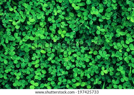 green leaves background.Clover leaf , - stock photo