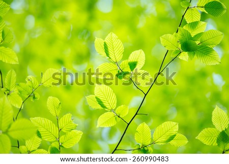 green leaves background in sunny day - stock photo