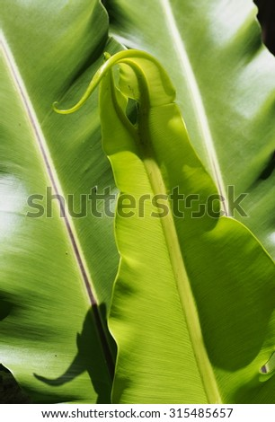 green leaves background of tropical plants, large bird's nest fern leaves, under natural sunlight - stock photo