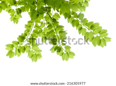 Green leaves - Bauhinia purpurea,also named purple bauhinia. - stock photo