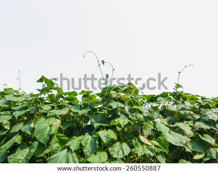 Green leaves climber, pea plant over white background - stock photo