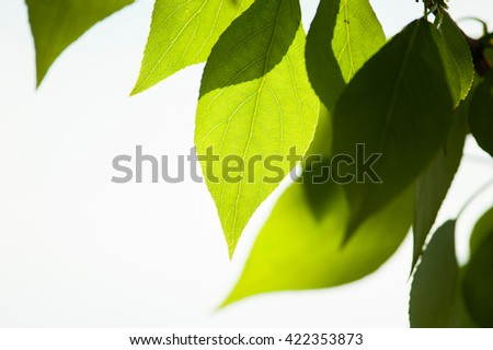 green leaves closeup on the sun - stock photo