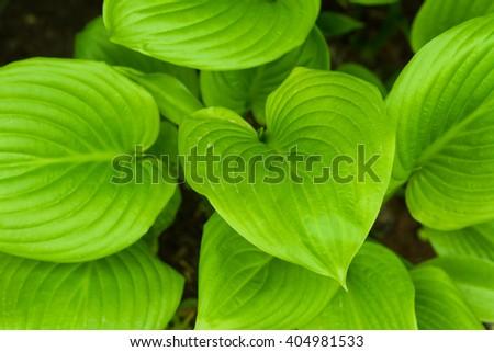 green leaves flower, Hosta fortunei - stock photo