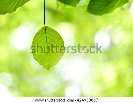Green leaves in a forest. Beech leaves in a sunny mixed forest. Focus on the foreground. Nature background in springtime. - stock photo