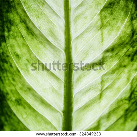 Green leaves of a tropical plant macro shot, nature symmetry and botanical background. - stock photo