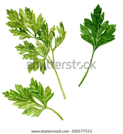 green leaves of parsley drawing by watercolor at white background, hand drawn  artistic painting illustration - stock photo