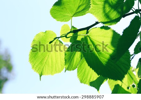 Green leaves of tree branch, closeup - stock photo