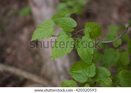 Green leaves on a tree. Summer nature background.  - stock photo