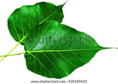 Green leaves on a white background. - stock photo