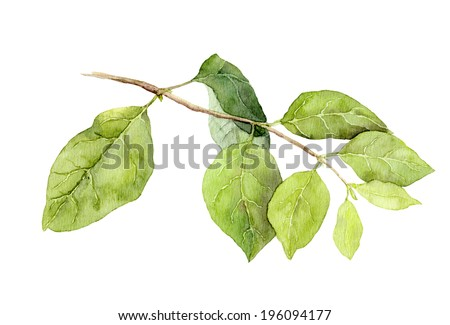 Green leaves on branch. Watercolor botanical illustration - stock photo