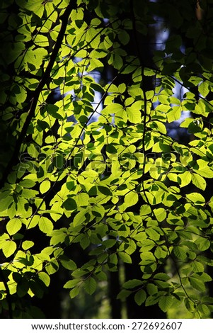 green leaves on the backlit - stock photo