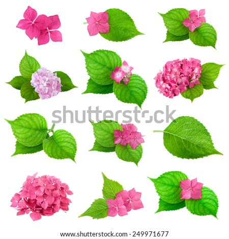 green leaves pink flower hydrangea collection - stock photo