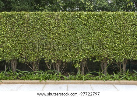 Green leaves wall at side road. - stock photo