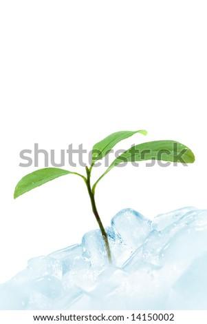 Green lemon leaf breaking ice. Spring concept - stock photo