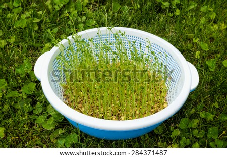 Green lentil sprouts in a bowl - stock photo