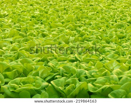 Green lettuce grown in a roof farm with hydroponics. - stock photo