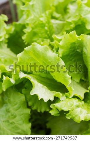 Green lettuce salad growth in a garden. Close up vegetable background - stock photo