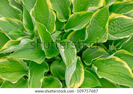Green lily perennial plant with yellow edges on the leaves - stock photo
