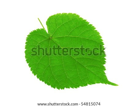 Green linden leaf isolated on white background - stock photo