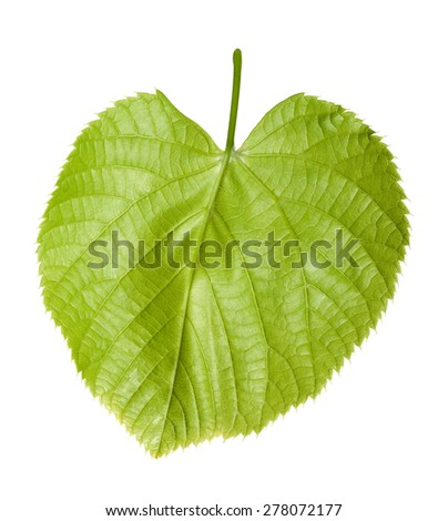Green linden-tree leaf isolated on white background - stock photo