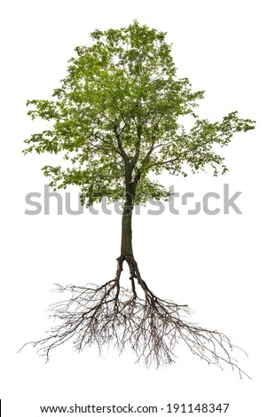 green linden tree with root isolated on white background - stock photo
