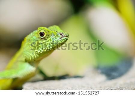 green lizard - stock photo