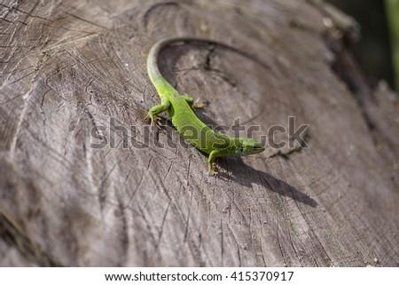 Green lizard sitting on the tree. - stock photo