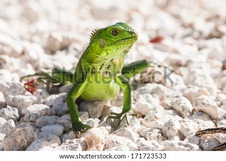Green lizard sunning on white stones. - stock photo