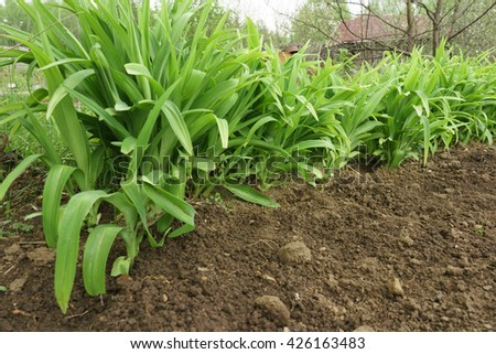 Green long leaves grass growing in a soil - stock photo