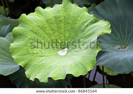 Green lotus leaf with drop inside in a chinese garden - stock photo