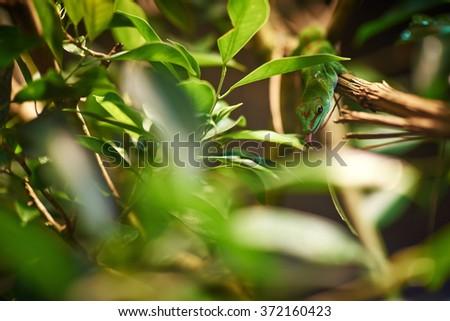 Green Madagascar gecko drinking dew at night - stock photo