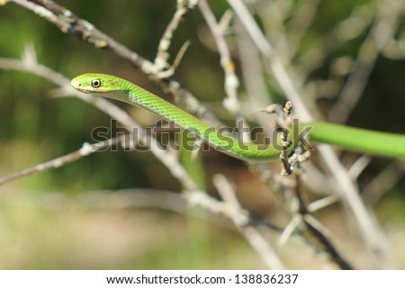 Green Mamba coloration, the arboreal Opheodrys aestivus - stock photo