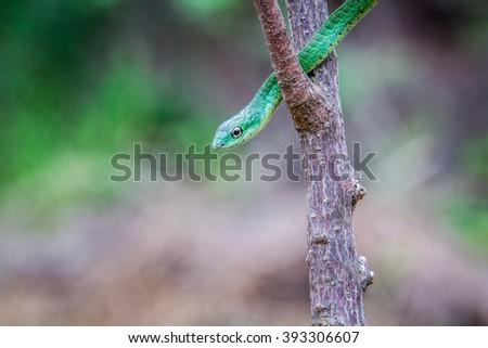 Green mamba on a branch - stock photo