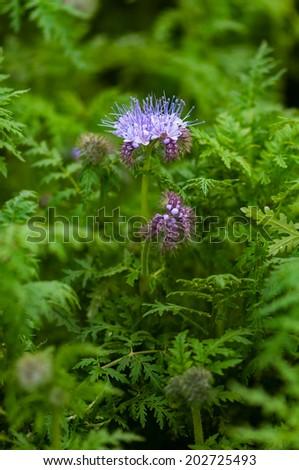 Green manure phacelia tanacetifolia flower and crop - stock photo